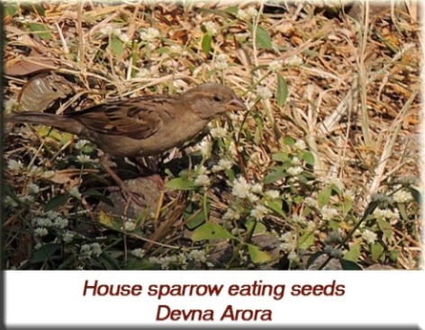 Devna Arora - House sparrow eating seeds