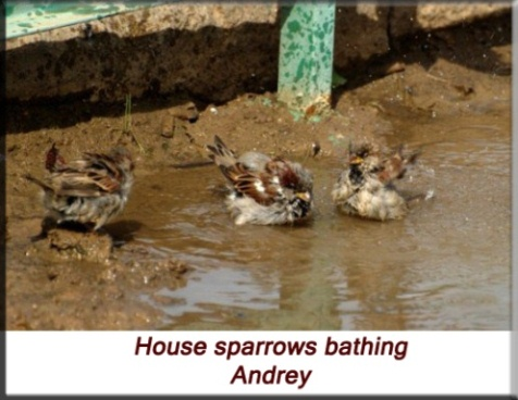 Andrey - House sparrows bathing