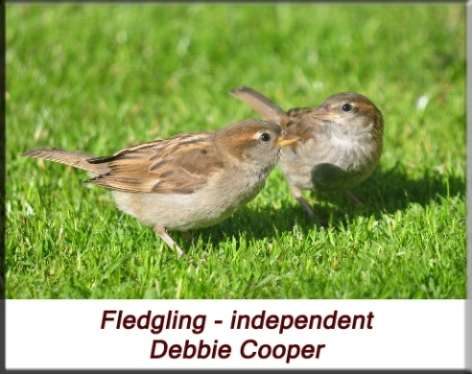Debbie Cooper - Independent house sparrow fledgling