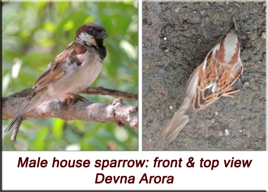 Devna Arora - Male house sparrow, front and top view