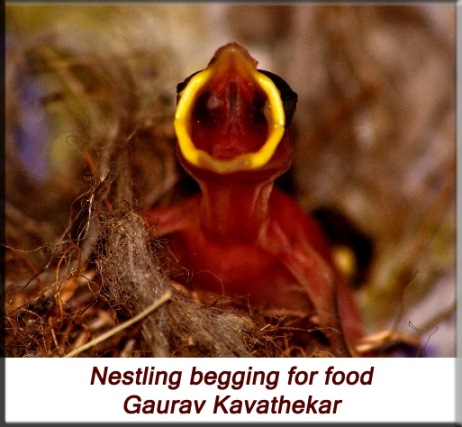 Gaurav Kavathekar - House sparrow nestling begging for food