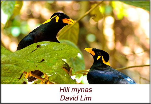 David Lim - Hill mynas