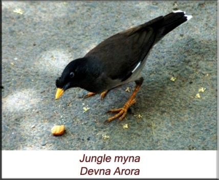 Devna Arora - Jungle myna