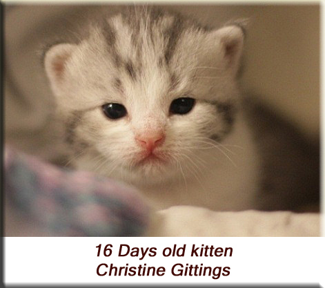 Christine Gittings - 16 days old kitten