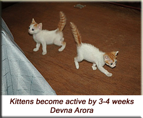 Devna Arora - 3.5 week old kittens