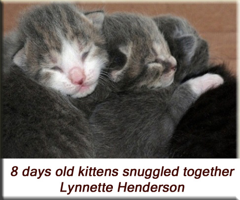 Lynnette Henderson - 8 days old kittens