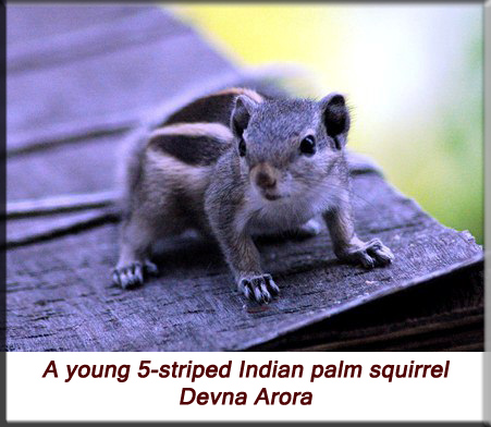 Devna Arora - A young 5-striped Indian palm squirrel