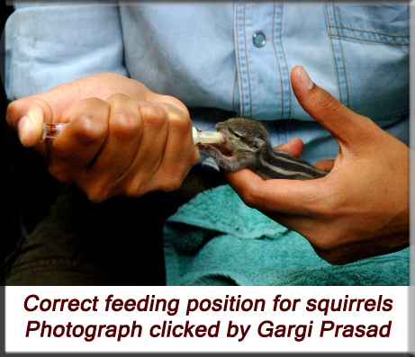 Devna Arora - Indian palm squirrel - correct feeding position