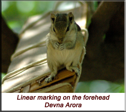 Devna Arora - Indian palm squirrel - with marking on forehead