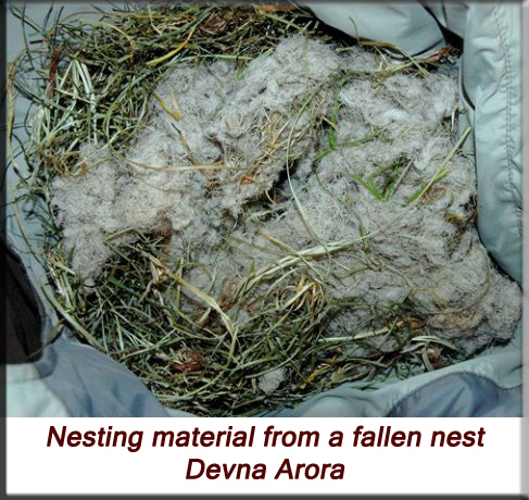 Devna Arora - Indian palm squirrel - Nesting material from a fallen nest