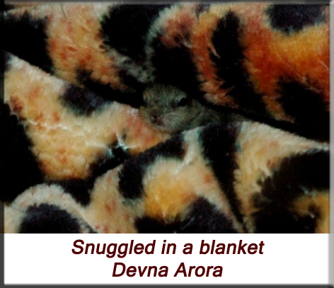 Devna Arora - Indian palm squirrel - Snuggled in a blanket