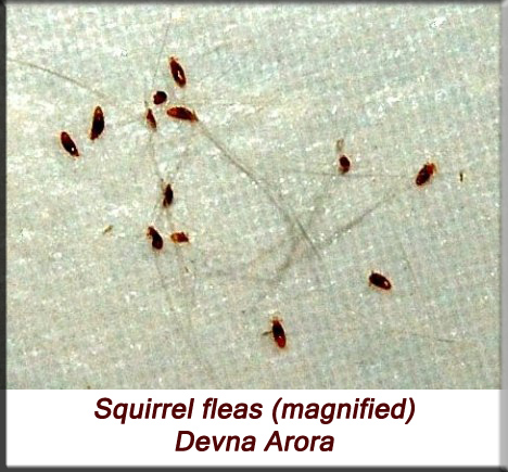 Devna Arora - Indian palm squirrel - squirrel fleas