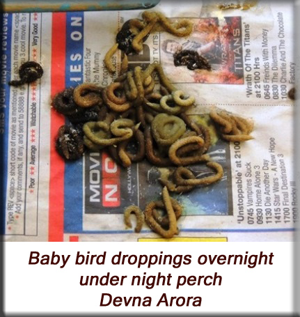 Devna Arora - Parakeet chicks - Baby bird poop under night perch