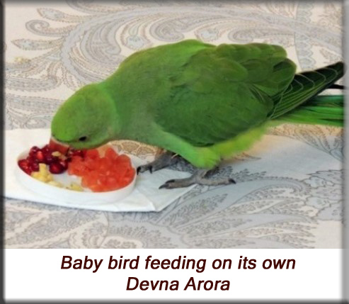 Devna Arora - Parakeet chicks - Baby birds feeding themselves