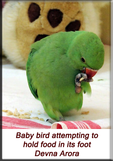 Devna Arora - Parakeet chicks - Baby bird holding food in it's foot