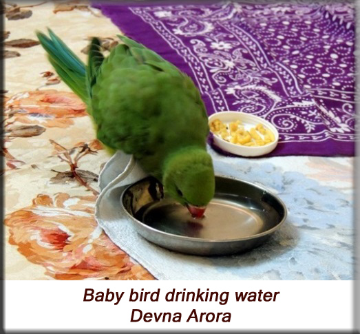 Devna Arora - Parakeet chicks - Baby bird drinking water