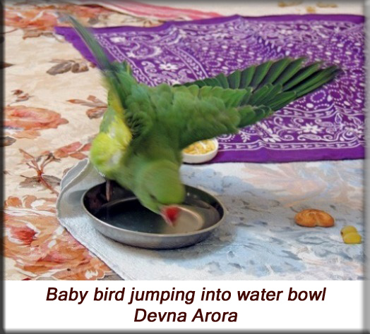 Devna Arora - Parakeet chicks - Baby bird jumping into the water bowl