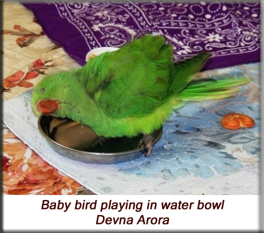 Devna Arora - Parakeet chicks - Baby bird playing in water bowl
