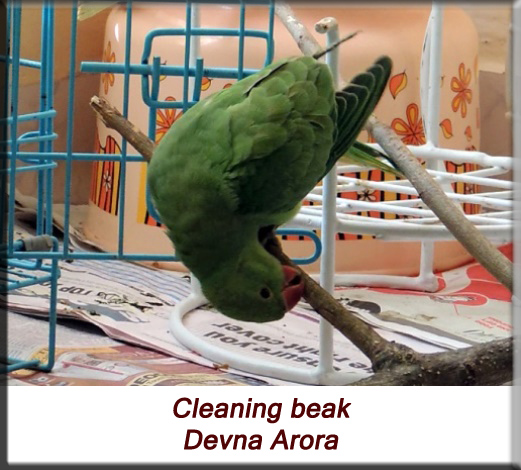 Devna Arora - Parakeet chicks - Baby bird cleaning beak after feeding