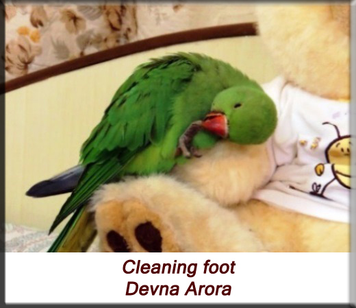 Devna Arora - Parakeet chicks - Baby bird cleaning foot