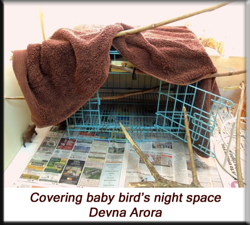 Devna Arora - Parakeet chicks - Covered night space for baby birds