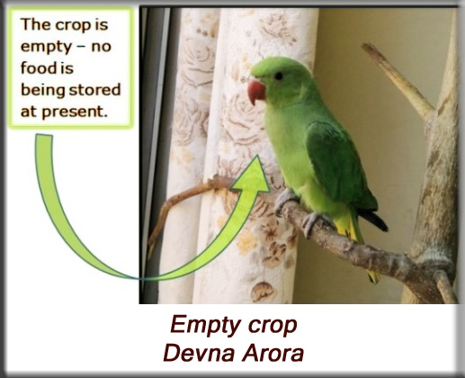 Devna Arora - Parakeet chicks - Empty crop
