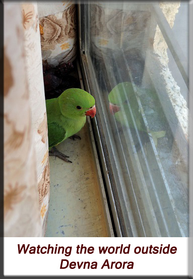 Devna Arora - Parakeet chicks - Baby bird watching the world outside
