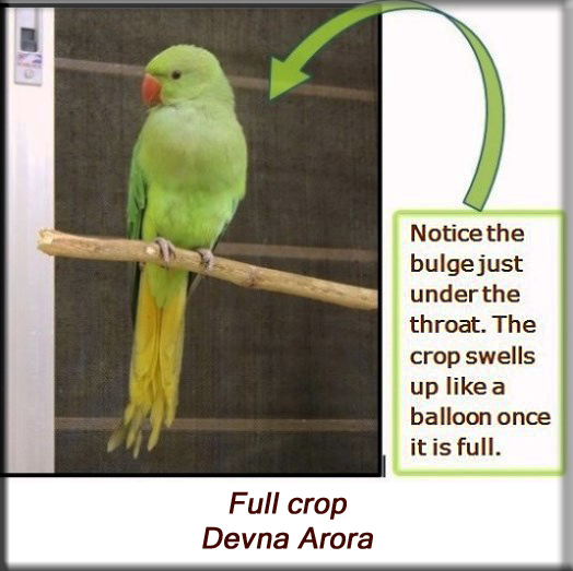 Devna Arora - Parakeet chicks - Full crop
