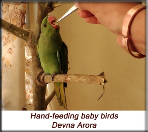 Devna Arora - Parakeet chicks - Hand-feeding baby birds