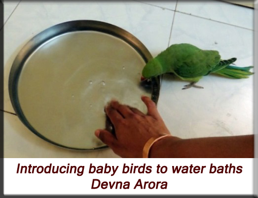 Devna Arora - Parakeet chicks - Introducing water baths
