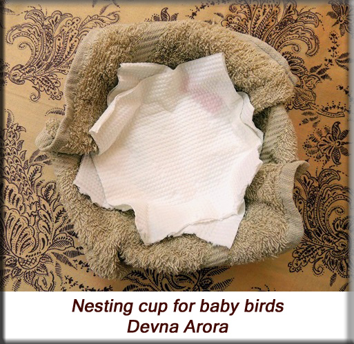 Devna Arora - Parakeet chicks - Nesting cups for new-borns