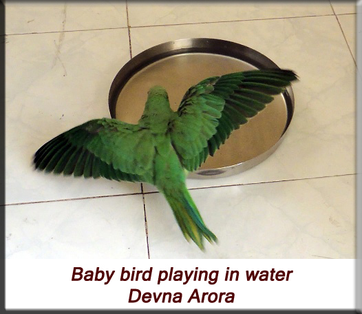 Devna Arora - Parakeet chicks - Baby bird playing in water