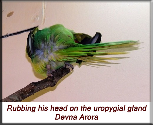 Devna Arora - Parakeet chicks - Rubbing his head on the uropygial gland