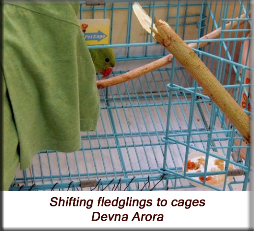 Devna Arora - Parakeet chicks - Shifting fledgling birds to cages