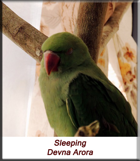 Devna Arora - Parakeet chicks - Baby bird sleeping