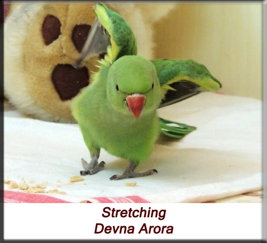 Devna Arora - Parakeet chicks - Baby bird stretching