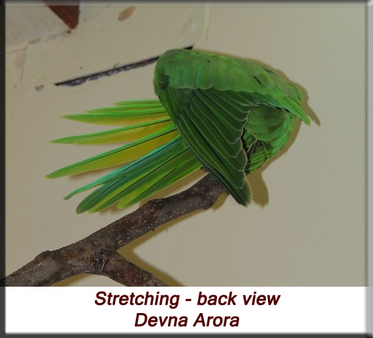 Devna Arora - Parakeet chicks - Baby bird stretching - back view