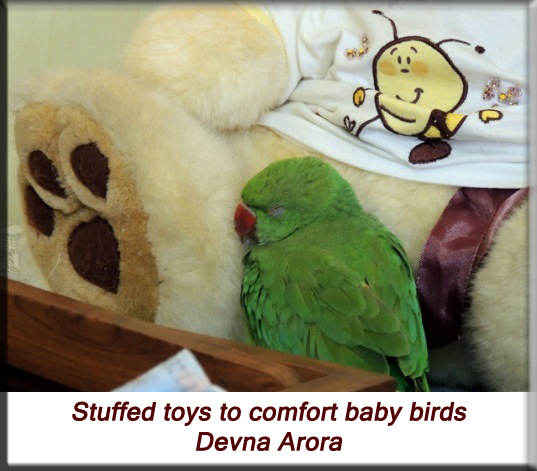 Devna Arora - Parakeet chicks - Baby bird snuggled up against its stuffed toy
