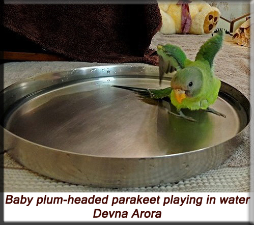 Devna Arora - Baby plum-headed parakeet playing in water