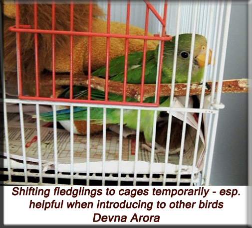 Devna Arora - Shifting fledgling birds to a cage