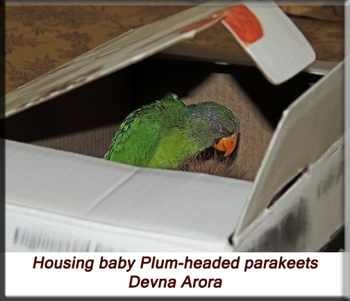 Devna Arora - Housing baby plum-headed parakeets