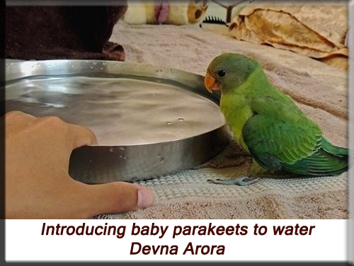 Devna Arora - Introducing baby plum-headed parakeets to water