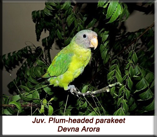 Devna Arora - Juvenile plum-headed parakeet