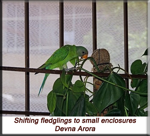 Devna Arora - Shift to a small enclosure upon fledging