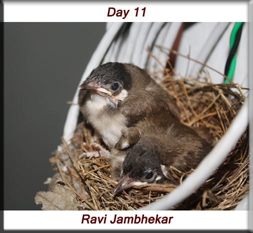 Red-whiskered bulbul - Day 11