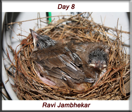 Red-whiskered bulbul - Day 8