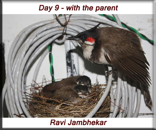 Red-whiskered bulbul - Day 9