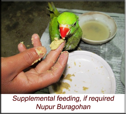 Supplemental hand feeding, if required, for young parakeets