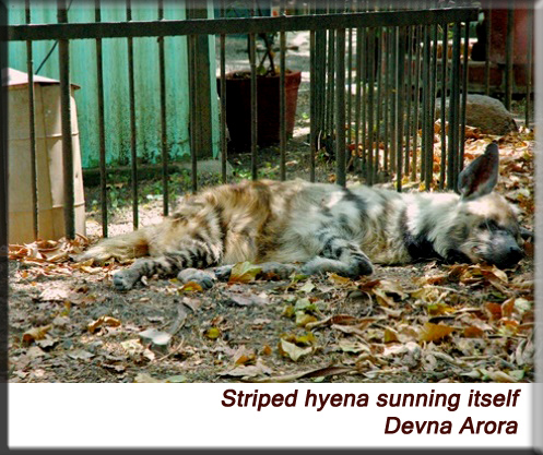 Devna Arora - Striped hyena sleeping in the sun